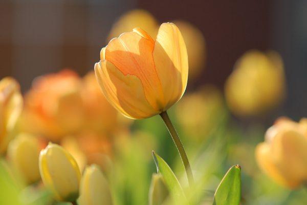 tulips-690320_1920